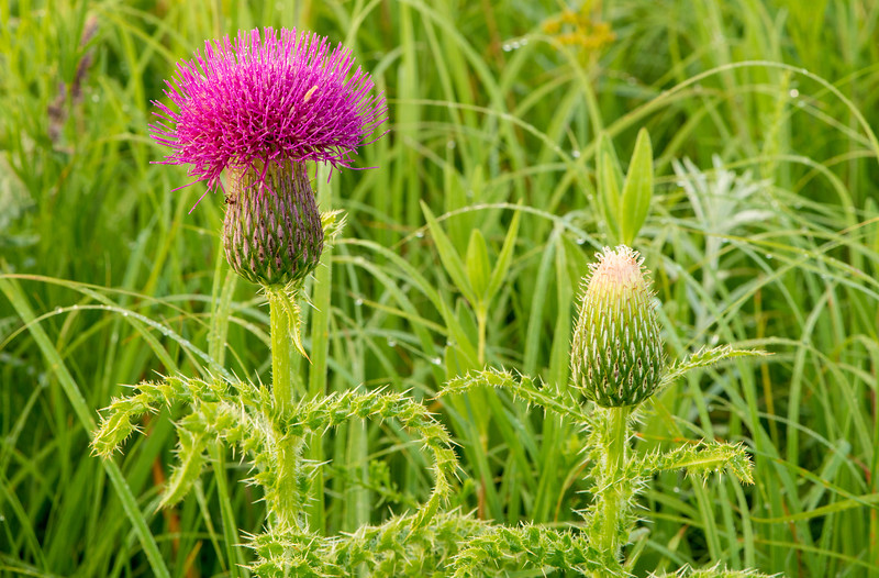 Hill's Thistle