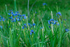 Blue Flag Iris Group