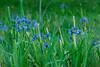 Blue Flag Iris Group