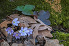 Sharp-lobed Hepaticas in their environment