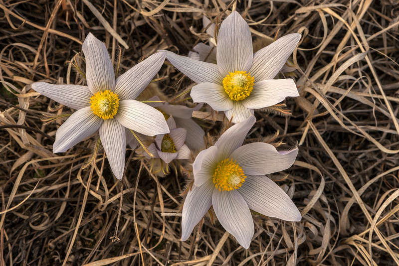 Pasque Flowers fully opened