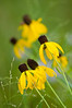 FLWR-11133: Gray-headed Coneflowers (Ratabida pinnata)