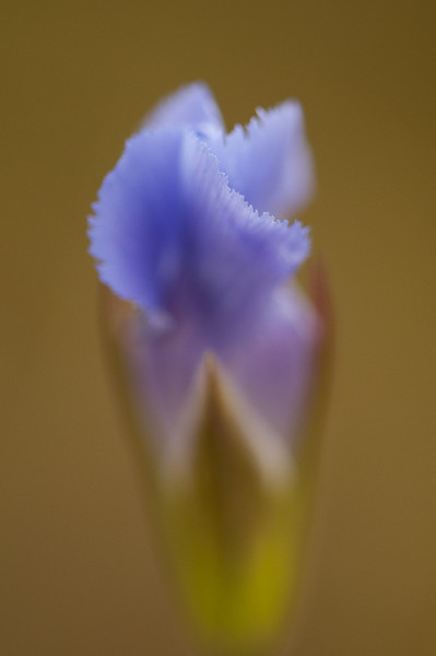 FFG-9001: Fringed Gentian (Gentianopsis procera) To show the beautiful colors this image was delibrately shot at a wide open aperture to make this type of image.