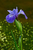 FLWR-10052: Deep woods Blue Flag Iris (Iris versicolor)