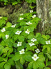 FLWR-13-82: Bunchberry Grouping