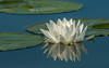 White Water Lily and reflection