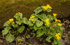 Marsh Marigold and moss covered log