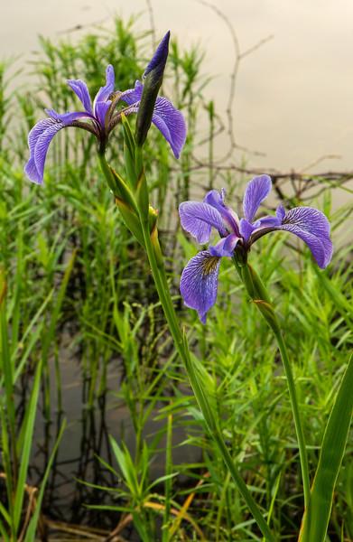 Blue Flat Iris pair