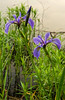 Blue Flag Iris pair