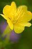 FWR-11131: Evening Primrose (Oenothera biennis)