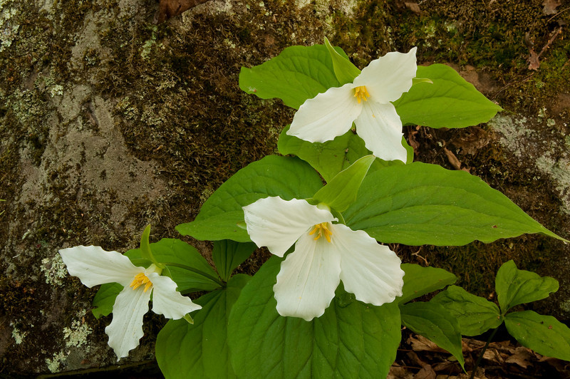 FTR-9007: Large-flowered trillium