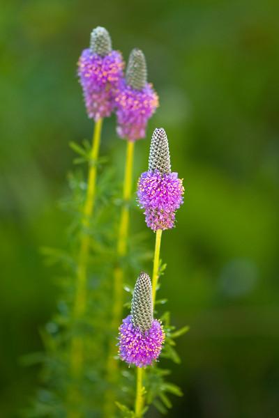 FLWR-10078: Purple Prairie Clover (Petalostemum purpureum)