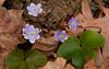 FLWR-10039: Hepaticas with leaves (Hepatica americana)