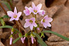 FLWR-11038: Spring Beauty (Claytonia virginica)