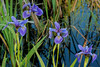 Blue Flag Iris on lake shore