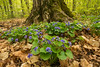 Blue Violets in their environment