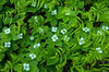 Bunchberry Blossoms and wood ferns