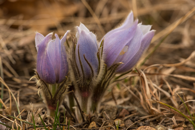 Early morning Pasque Flowers