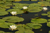 FLWR-13-133: White Water Lily's