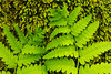 BOT-13-17: Ferns and moss covered tree