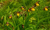 Small Yellow Lady's-slipper grouping