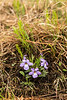 FLWR-13-22: Bird's-foot Violets