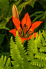Wood Lily and ferns