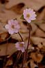 FLWR-10014: Hepatica trio (Hepatica acutiloba)
