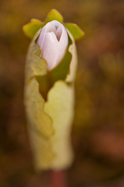 FLWR-11030: Emerging Bloodroot (Sanguiaria canadensis)
