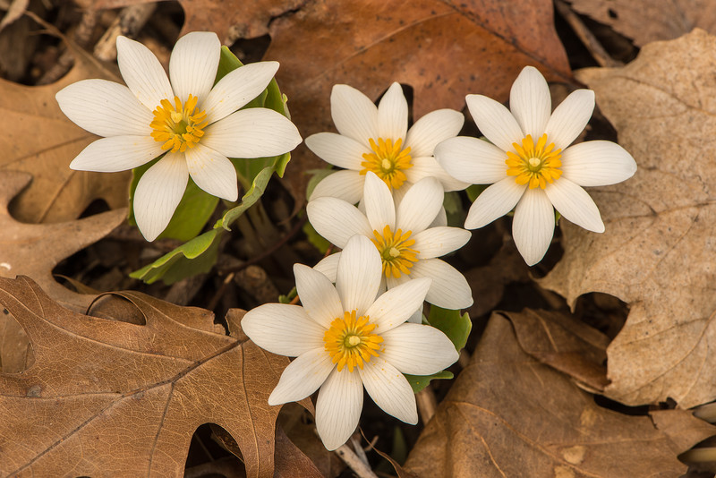 Bloodroot Grouping