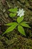 Starflower in bog