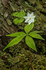 Starflower in bog