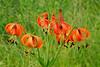 6033-Turk's-cap lillies (Lillium superbum)