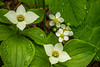 Bunchberry Blossoms