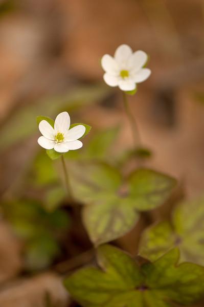 FLWR-11049: Soft focus Hepaticas (Hepatica acutiloba)