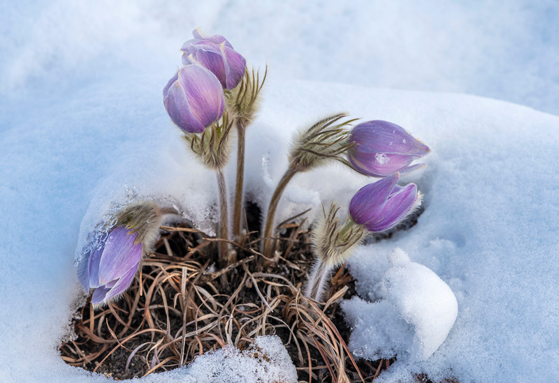 Pasque Flowers in April snow