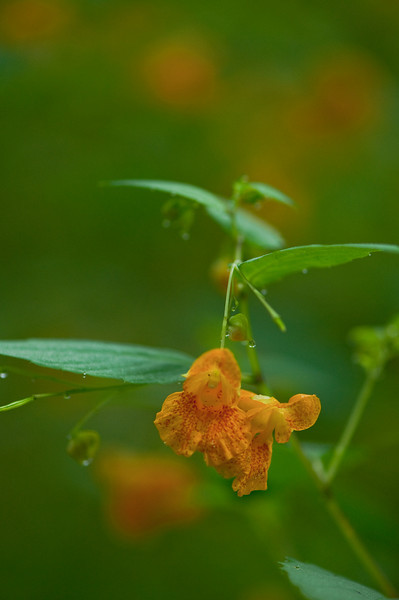 "FLWR-10089: Orange Jewel weed (Commonly called ""Touch-me-not"" Impatiens capensis"