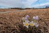 Pasque Flowers on the prairie
