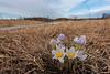 Pasque Flowers on the prairie