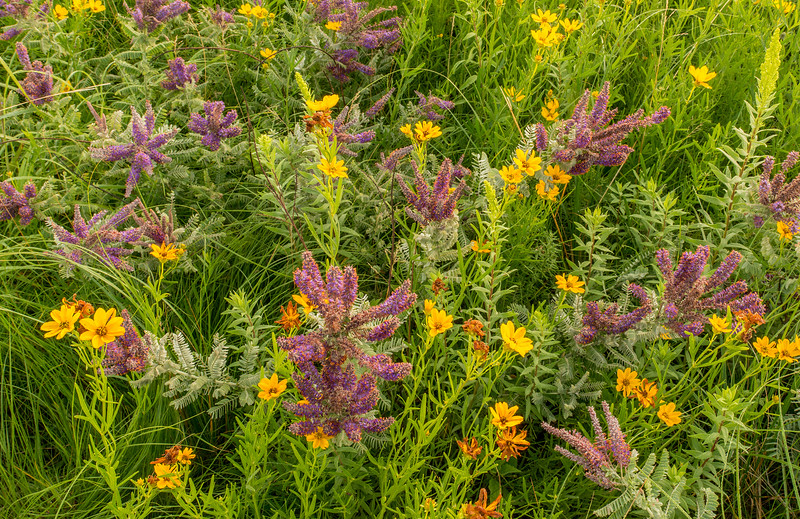 Lead Plant and Coreopsis