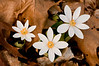 FLWR-10026: Sign of spring (Sanguinaria canadensis)