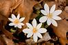 FLWR-10026: Sign of spring (Sanguinaria canadensis)
