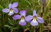 FLWR-13-48: Bird's-foot violets