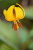 FLWR-11021: Yellow Trout Lily (Erythronium albidum)