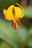 FLWR-11021: Yellow Trout Lily (Erythronium albidum)