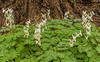 Dutchman Breeches