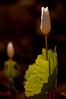 FLWR-10006: Morning light (Sanguinaria canadensis)