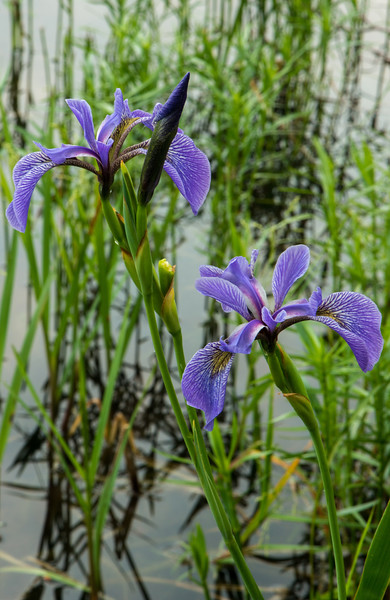 Blue Flag pair and bud