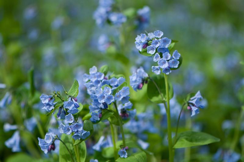 FLWR-10046: Virginia Bluebells (Mertensia virginica)