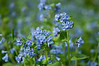 FLWR-10046: Virginia Bluebells (Mertensia virginica)